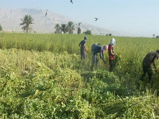 برداشت 2400 تن کنجد از مزارع استان بوشهر
