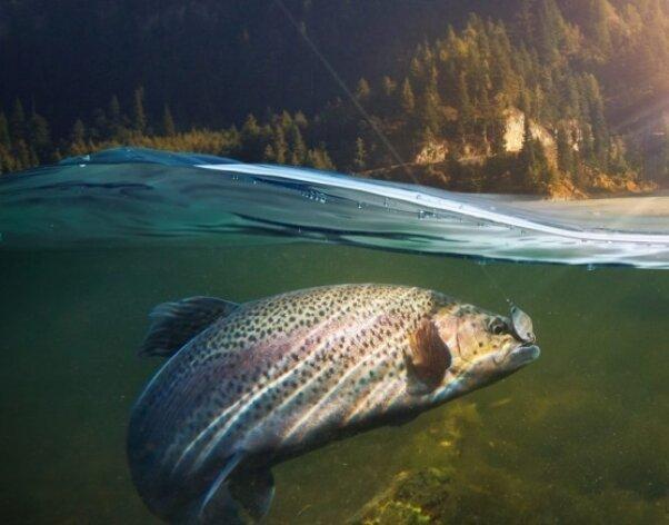 خط تولید واکسن بیماری ماهیان سردآبی راه اندازی می شود